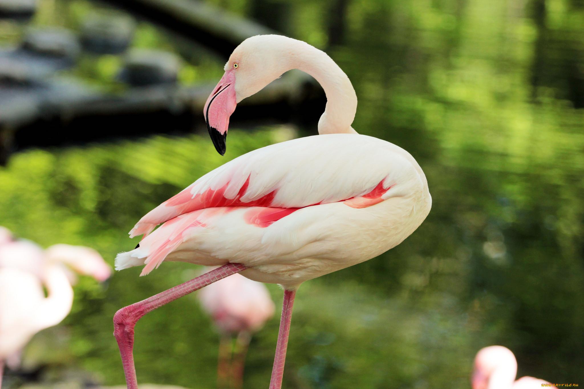 окон птица фламинго картинки радостью тебя